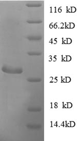 SDS-PAGE separation of QP8857 followed by commassie total protein stain results in a primary band consistent with reported data for ADK. These data demonstrate Greater than 90% as determined by SDS-PAGE.