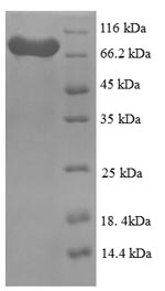 SDS-PAGE separation of QP8858 followed by commassie total protein stain results in a primary band consistent with reported data for Lysine decarboxylase