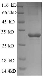 SDS-PAGE separation of QP8864 followed by commassie total protein stain results in a primary band consistent with reported data for Trehalose-phosphatase. These data demonstrate Greater than 90% as determined by SDS-PAGE.