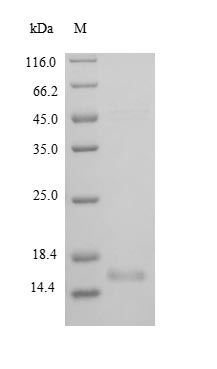 SDS-PAGE separation of QP8869 followed by commassie total protein stain results in a primary band consistent with reported data for BDNF Protein Isoform 2. These data demonstrate Greater than 90% as determined by SDS-PAGE.