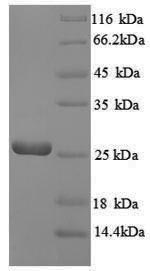 SDS-PAGE separation of QP8879 followed by commassie total protein stain results in a primary band consistent with reported data for GTP cyclohydrolase-2. These data demonstrate Greater than 90% as determined by SDS-PAGE.