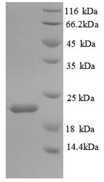 SDS-PAGE separation of QP8880 followed by commassie total protein stain results in a primary band consistent with reported data for IL18BP. These data demonstrate Greater than 90% as determined by SDS-PAGE.