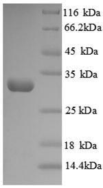SDS-PAGE separation of QP8882 followed by commassie total protein stain results in a primary band consistent with reported data for Protein-lysine 6-oxidase. These data demonstrate Greater than 90% as determined by SDS-PAGE.