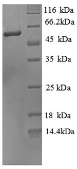 SDS-PAGE separation of QP8885 followed by commassie total protein stain results in a primary band consistent with reported data for Alkaline Phosphatase / ALPL. These data demonstrate Greater than 90% as determined by SDS-PAGE.