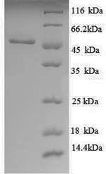 SDS-PAGE separation of QP8889 followed by commassie total protein stain results in a primary band consistent with reported data for UDP-glucose 6-dehydrogenase. These data demonstrate Greater than 90% as determined by SDS-PAGE.