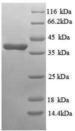 SDS-PAGE separation of QP8890 followed by commassie total protein stain results in a primary band consistent with reported data for Annexin A3. These data demonstrate Greater than 90% as determined by SDS-PAGE.