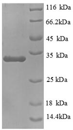 SDS-PAGE separation of QP8891 followed by commassie total protein stain results in a primary band consistent with reported data for MUC5AC. These data demonstrate Greater than 90% as determined by SDS-PAGE.