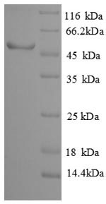 SDS-PAGE separation of QP8892 followed by commassie total protein stain results in a primary band consistent with reported data for Sialidase-3. These data demonstrate Greater than 90% as determined by SDS-PAGE.