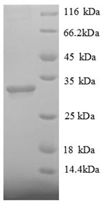 SDS-PAGE separation of QP8907 followed by commassie total protein stain results in a primary band consistent with reported data for Histone deacetylase 7. These data demonstrate Greater than 90% as determined by SDS-PAGE.