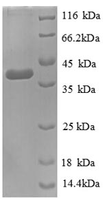 SDS-PAGE separation of QP8917 followed by commassie total protein stain results in a primary band consistent with reported data for D-cysteine desulfhydrase. These data demonstrate Greater than 90% as determined by SDS-PAGE.