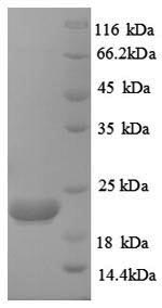 SDS-PAGE separation of QP8921 followed by commassie total protein stain results in a primary band consistent with reported data for Caspase-8. These data demonstrate Greater than 90% as determined by SDS-PAGE.