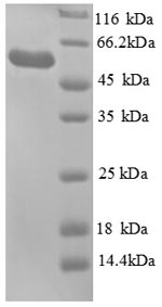 SDS-PAGE separation of QP8938 followed by commassie total protein stain results in a primary band consistent with reported data for Glycerol kinase. These data demonstrate Greater than 90% as determined by SDS-PAGE.