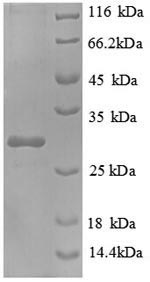 SDS-PAGE separation of QP8942 followed by commassie total protein stain results in a primary band consistent with reported data for NAD(P)H-flavin reductase. These data demonstrate Greater than 90% as determined by SDS-PAGE.