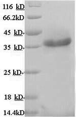 SDS-PAGE separation of QP8946 followed by commassie total protein stain results in a primary band consistent with reported data for Ribokinase. These data demonstrate Greater than 90% as determined by SDS-PAGE.