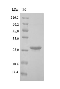 SDS-PAGE separation of QP9010 followed by commassie total protein stain results in a primary band consistent with reported data for BNIP3L. These data demonstrate Greater than 90% as determined by SDS-PAGE.