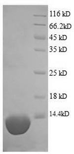 SDS-PAGE separation of QP9020 followed by commassie total protein stain results in a primary band consistent with reported data for C5a / Complement 5a. These data demonstrate Greater than 90% as determined by SDS-PAGE.
