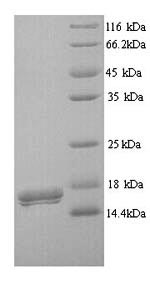 SDS-PAGE separation of QP9043 followed by commassie total protein stain results in a primary band consistent with reported data for CD300LB / LMIR5 / CMRF35-A2. These data demonstrate Greater than 90% as determined by SDS-PAGE.