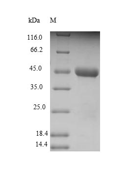 SDS-PAGE separation of QP9091 followed by commassie total protein stain results in a primary band consistent with reported data for C-X-C chemokine receptor type 3. These data demonstrate Greater than 90% as determined by SDS-PAGE.