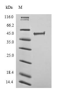 SDS-PAGE separation of QP9126 followed by commassie total protein stain results in a primary band consistent with reported data for Transcriptional regulator ERG. These data demonstrate Greater than 90% as determined by SDS-PAGE.