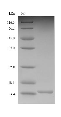 SDS-PAGE separation of QP9155 followed by commassie total protein stain results in a primary band consistent with reported data for GLP-1R / GLP1R. These data demonstrate Greater than 90% as determined by SDS-PAGE.