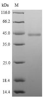 SDS-PAGE separation of QP9171 followed by commassie total protein stain results in a primary band consistent with reported data for HAPLN1. These data demonstrate Greater than 90% as determined by SDS-PAGE.