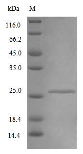 SDS-PAGE separation of QP9199 followed by commassie total protein stain results in a primary band consistent with reported data for IFNAR2 / IFNABR. These data demonstrate Greater than 90% as determined by SDS-PAGE.