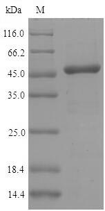 SDS-PAGE separation of QP9220 followed by commassie total protein stain results in a primary band consistent with reported data for Interferon regulatory factor 3. These data demonstrate Greater than 90% as determined by SDS-PAGE.