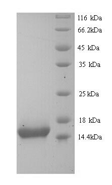 SDS-PAGE separation of QP9239 followed by commassie total protein stain results in a primary band consistent with reported data for Cytokeratin 10. These data demonstrate Greater than 90% as determined by SDS-PAGE.