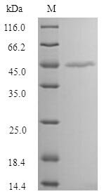 SDS-PAGE separation of QP9261 followed by commassie total protein stain results in a primary band consistent with reported data for MAGE-1. These data demonstrate Greater than 90% as determined by SDS-PAGE.