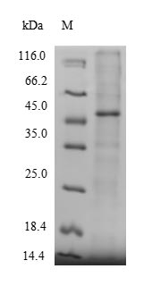 SDS-PAGE separation of QP9273 followed by commassie total protein stain results in a primary band consistent with reported data for Protein-methionine sulfoxide oxidase MICAL2. These data demonstrate Greater than 90% as determined by SDS-PAGE.