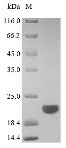 SDS-PAGE separation of QP9289 followed by commassie total protein stain results in a primary band consistent with reported data for CD20 / MS4A1. These data demonstrate Greater than 90% as determined by SDS-PAGE.