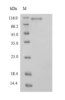 SDS-PAGE separation of QP9416 followed by commassie total protein stain results in a primary band consistent with reported data for STAT3. These data demonstrate Greater than 90% as determined by SDS-PAGE.