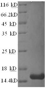 SDS-PAGE separation of QP9449 followed by commassie total protein stain results in a primary band consistent with reported data for TALLA-1 / TSPAN7. These data demonstrate Greater than 90% as determined by SDS-PAGE.