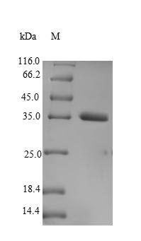 SDS-PAGE separation of QP9465 followed by commassie total protein stain results in a primary band consistent with reported data for VGLL3. These data demonstrate Greater than 90% as determined by SDS-PAGE.