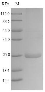 SDS-PAGE separation of QP9489 followed by commassie total protein stain results in a primary band consistent with reported data for Latherin. These data demonstrate Greater than 86.7% as determined by SDS-PAGE.