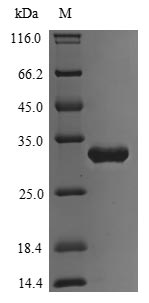 SDS-PAGE separation of QP9558 followed by commassie total protein stain results in a primary band consistent with reported data for Transcriptional regulatory protein PhoP. These data demonstrate Greater than 80% as determined by SDS-PAGE.