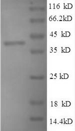 SDS-PAGE separation of QP9625 followed by commassie total protein stain results in a primary band consistent with reported data for Peptidoglycan-binding protein ArfA. These data demonstrate Greater than 90% as determined by SDS-PAGE.