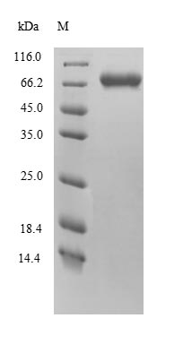 SDS-PAGE separation of QP9921 followed by commassie total protein stain results in a primary band consistent with reported data for Protein FAM111A. These data demonstrate Greater than 90% as determined by SDS-PAGE.