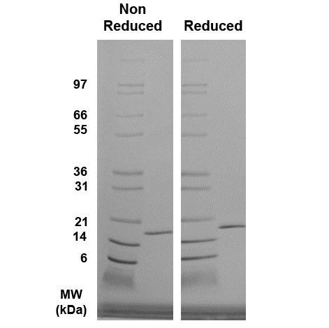 Reducing and Non-Reducing total protein analysis of bFGF (QP5269) demonstrating purity and appropriate MW (predicted MW is 17.3 kDa).
