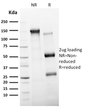 SDS-PAGE Analysis Purified CD11c Mouse Monoclonal Antibody (ITGAX/2507).Confirmation of Integrity and Purity of Antibody.