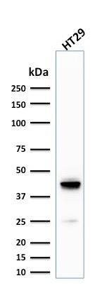 Western Blot Analysis of human HT29 Cell lysate using Cytokeratin 20 (KRT20) Mouse Monoclonal Antibody (KRT20/1992).