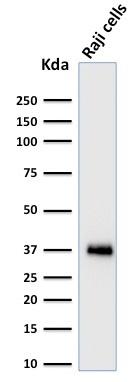 Western Blot Analysis of Raji cell lysate using BOB1 Mouse Monoclonal Antibody (BOB1/2424).