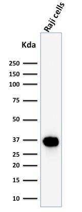 Western Blot Analysis of Raji Cell lysate using BOB1 Mouse Monoclonal Antibody (BOB1/2425).