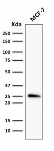 Western Blot Analysis of MCF-7 Cell lysate using Bcl-2 Mouse Recombinant Monoclonal Antibody (rBCL2/796).