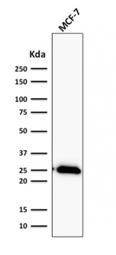 Western Blot Analysis of human MCF-7 Cell lysate using Bcl-2 Rabbit Recombinant Monoclonal Antibody (BCL2/2210R).