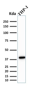 Western Blot Analysis of THP-1 Cell Lysate using PU.1 Mouse Monoclonal Antibody (PU1/2146).