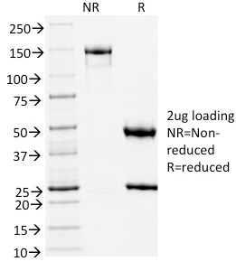 SDS-PAGE Analysis Purified TLE1 Mouse Monoclonal Antibody (TLE1/2051).Confirmation of Integrity and Purity of Antibody.