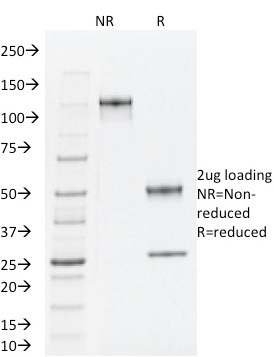 SDS-PAGE Analysis Purified TLE1 Mouse Monoclonal Antibody (TLE1/2062).Confirmation of Integrity and Purity of Antibody.