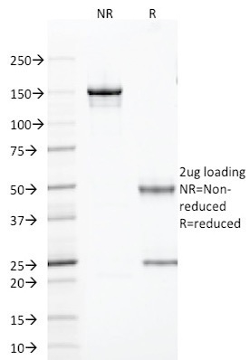 SDS-PAGE Analysis Purified TLE1 Mouse Monoclonal Antibody (TLE1/2085).Confirmation of Purity and Integrity of Antibody.
