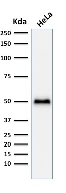Western blot analysis of Hela cell lysate using p53 Recombinant Rabbit Monoclonal Antibody (TP53/1799R).